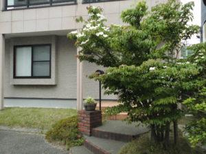 今自宅玄関前の山法師の木に花が咲きました!